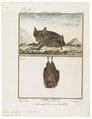 Rhinolophus ferrum equinum - 1700-1880 - Print - Iconographia Zoologica - Special Collections University of Amsterdam - UBA01 IZ20700141.tif