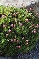 Rhododendron campylogynum kz01.jpg