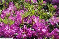 Rhododendron catawbiense Lees Dark Purple 2zz.jpg