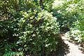 Rhododendron forrestii - VanDusen Botanical Garden - Vancouver, BC - DSC07280.jpg