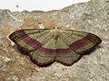 Rhodostrophia vibicaria - Common pink-barred - Пяденица краснополосая (40080381295).jpg