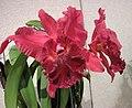 Rhyncholaeliocattleya Chia Lin Beauty 'Red Pearl' -香港沙田國蘭展 Shatin Orchid Show, Hong Kong- (25139762266).jpg