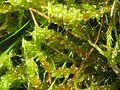 Rhytidiadelphus squarrosus.jpeg