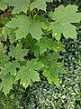 Rhytisma acerinum 145543550.jpg