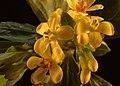 Ribes aureum kz02.jpg