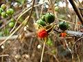 Ribes fasciculatum var. chinense 4.jpg