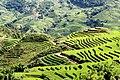 RiceTerracesVietnam.jpg