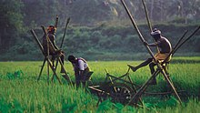 Rice fields of Kuttanad.jpg