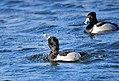 Ring-necked Ducks on Seedskadee NWR (25611887653).jpg