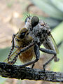 Robber Fly With Honey Bee (5560252486).jpg
