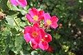 Rosa 'Pink Home Run' 2.jpg