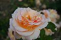 Rosa Apricot Nectar - USA (11982644683).jpg