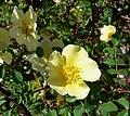 Rosa Hidcote Gold 1.jpg