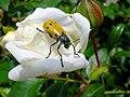 Rosa con Coleottero Chrysomelidae - panoramio.jpg