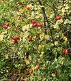 Rosa glutinosa fruit.jpg