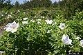 Rosa rugosa inflorescence (37).jpg