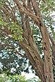 Rosales - Ficus benghalensis - 2.jpg