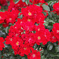 Rose, GOdewind, バラ, ゴーデヴィント (13028784123).jpg