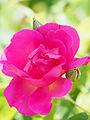 Rose, The Herbalist, バラ, ザ ハーバリスト, (14112028388).jpg