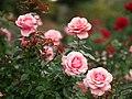Rose, Tournament of Roses, バラ, トーナメント オブ ローゼズ, (9049316741).jpg