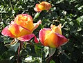 Rose Love and Peace Roses, Exposition Park, Los Angeles (34204900440).jpg