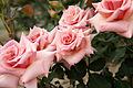 Rose Tender バラ テンダー (6901197797).jpg