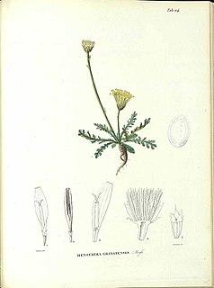 <i>Rothmaleria</i> genus of plants