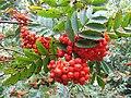 Rowan Berries, Waters' Edge Park - geograph.org.uk - 531108.jpg