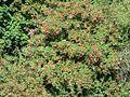 Rowan tree with berries.jpg