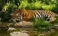 Royal-bengal-tiger-wallpaper.jpg