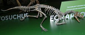 Eoraptor - Reconstructed skeleton, Royal Ontario Museum