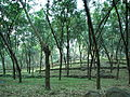 Rubber Plantation in Kanyakumari District (near Pechiparai).JPG