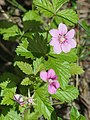 Rubus arcticus Simo 20210613.jpg