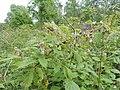 Rubus idaeus kz06.jpg