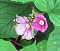 Rubus odoratus G2.jpg