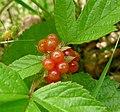 Rubus saxatilis in Slovenia (16287131915).jpg