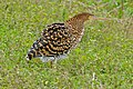 Rufescent Tiger Heron (Tigrisoma lineatum) juvenile (28979657605).jpg