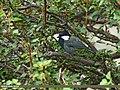 Rufous-naped Tit (Periparus rufonuchalis) (31316810563).jpg