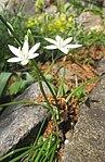 Ruhland, Grenzstr. 3, Dolden-Milchstern blühend im Steingarten, Frühling, 04.jpg