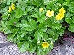 Ruhland, Grenzstr. 3, Golderdbeere im Garten, blühende Pflanzen, Frühling, 06.jpg