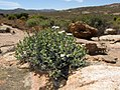 Ruschia sp. ? (Aizoaceae) (4086815729).jpg