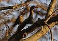 Rusty Blackbird at sunset (46331694522).jpg