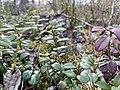 Ryssbergens naturreservat lingon.jpg