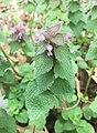 SSS's pic of Lamium purpureum.jpg