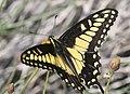 SWALLOWTAIL, DESERT BLACK (Papilio polyxenes coloro) (3-26-2016) plum wash, anza-borrego state park, san diego co, ca -05 (25554917904).jpg