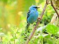 Saí azul macho Dacnis cayana em Praia Grande SP.jpg