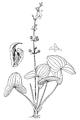 Sagittaria australis Mohr-1901.png