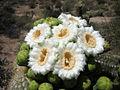 Saguaroflowers.jpg