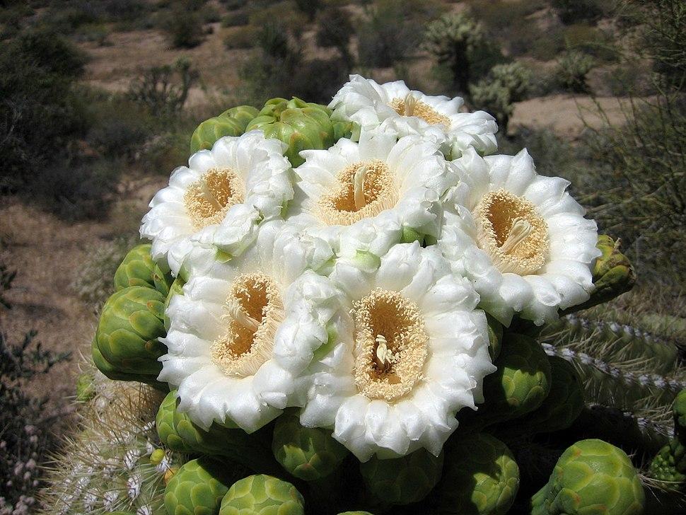 Saguaroflowers