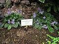 Saintpaulia rupicola - Berlin Botanical Garden - IMG 8705.JPG